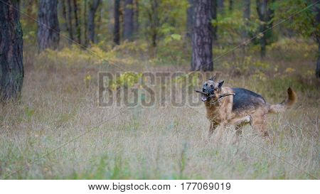 Pet playing with wood stick - German shepherd dog in the autumn forest, telephoto