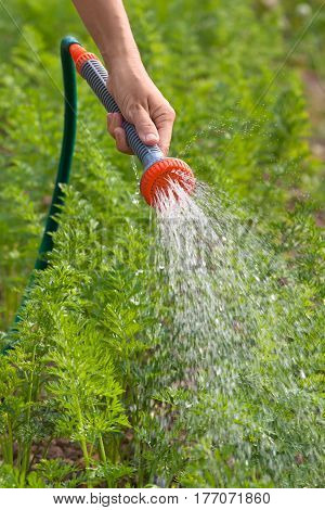hand of gardener watering carrot with garden hose in the garden