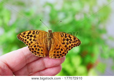 Silver-washed fritillary (Argynnis paphia) female on human hand.