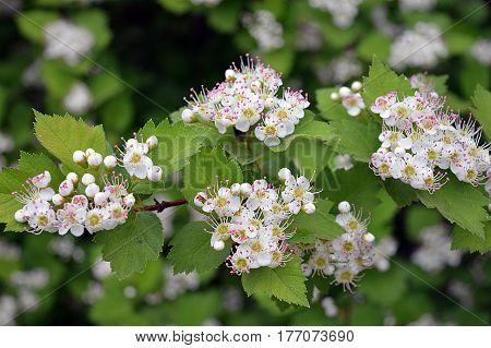 hawthorn flower spring leaves white Bush flowering