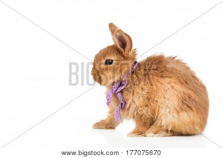 Portrait of a small beautiful fiery red rabbit in a knitted scarf isolated on a white background