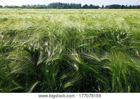 Barley field with green barley ears in the foreground. Plants are bent by the wind in different directions.
