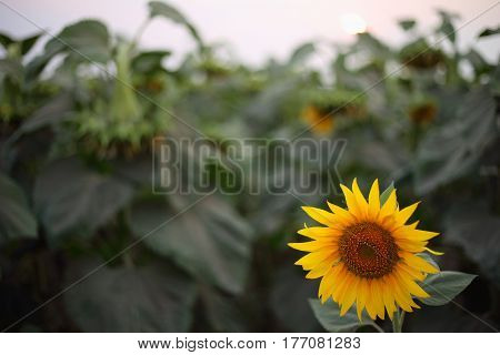 field of sunflowers, flagging, Lonely flower, rural economy