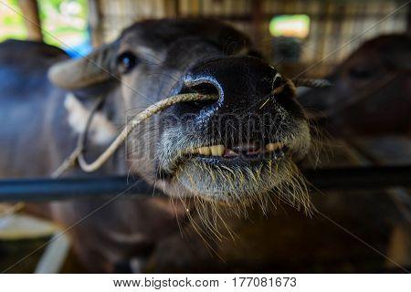 Smile Buffalo With Broken Teeth