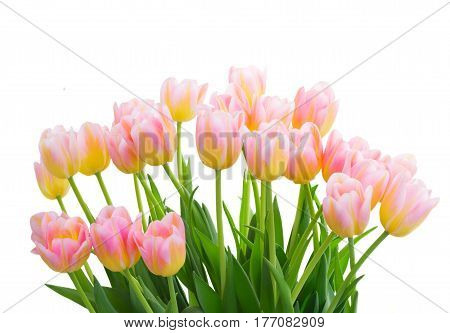 ow of fresh pink and yellow tulips close up isolated on white background