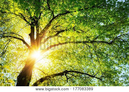 The sun shines warmly through the canopy of a green lime tree