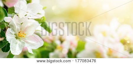Apple blossoms in soft dreamy sunlight panoramic closeup with shallow focus and copyspace on bokeh background