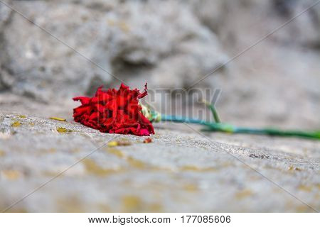 the red carnation on the stone rock