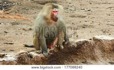 Monkey Chilling in the Zoo / featuring Baboon Monkey Chilling in the Zoo