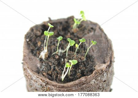 Seedling of thyme in clod of soil isolated on white background