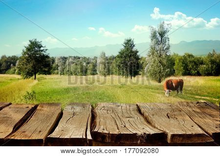 Milk concept. Cow in field. Empty display with cow and spring field. Wooden tabletop for montage
