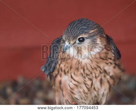 Merlin, smallest British falcon against red background