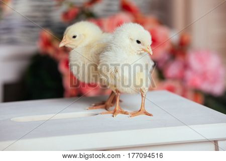 Beautiful little chickens sitting on a chair on a background of flowers