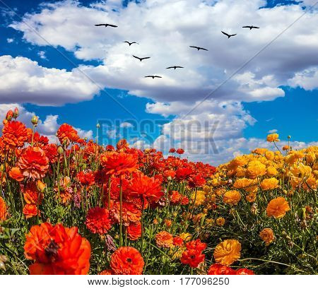 Migratory birds flying high in the cumulus clouds. The southern sun illuminates the flower fields of red buttercups. The concept of  eco-tourism and recreation