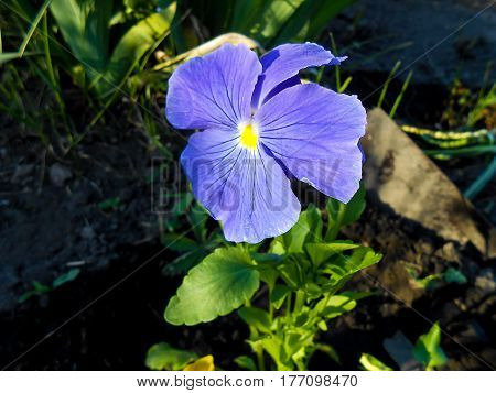Heartsease. Fresh Garden Pansy Flower