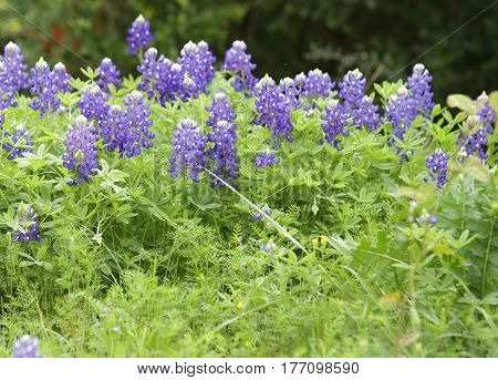 Texas Bluebonnets Close-up with Lush Green Foreground