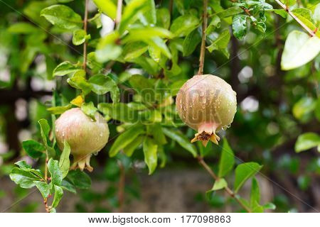 Pomegranate fruit growing on the green branches