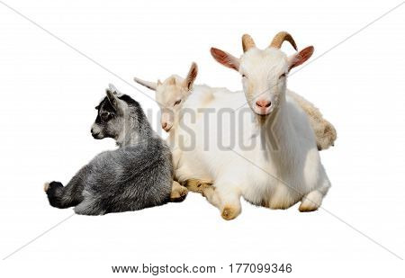 Goat and kids isolated on white background