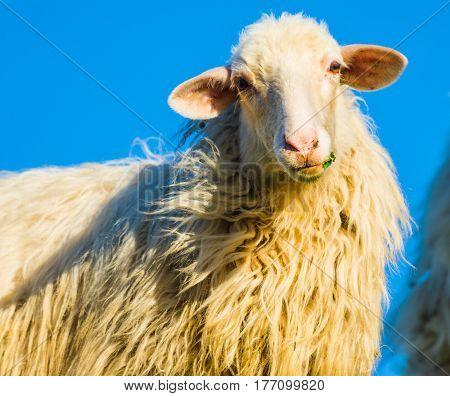 close up of a sheep staring at the camera