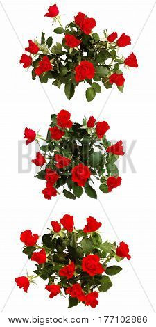 Dozen of scarlet roses isolated on white. Set of three pictures.