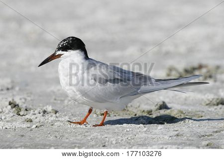 A Forster's Tern, Sterna forsteri on sand on a beach in Florida