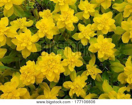 Yellow Euphorbia Multiflorous In The Meadow