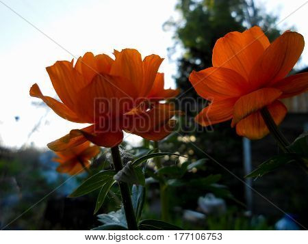 Large Globe-flower Plant With Globular Yellow Or Orange Flowers, Native To North Temperate Regions
