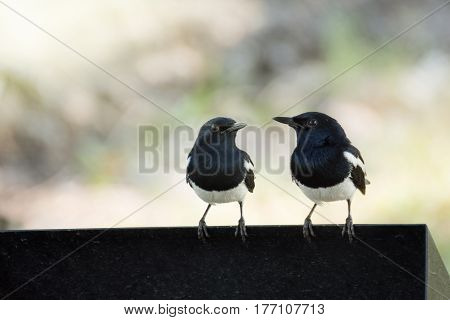 The two white and black birds (Oriental magpie robins) are perched side by side waiting to fly.