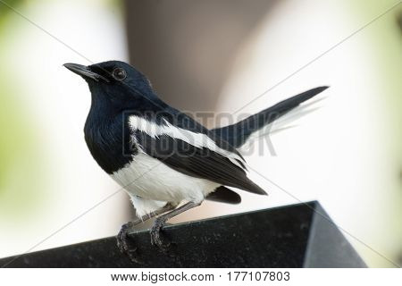 The white and black bird (Oriental magpie robin) is looking for a friend to fly alongside the way.
