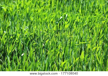 Young wheat swaying in the wind in a field-Selective shallow focus on a middle of an image to convey motion
