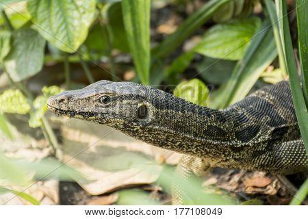 Large lizard in a public park (Varanus salvator)