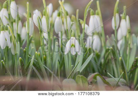 Snowdrop Spring Flower In Forest