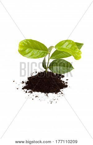 New Lemon Plant In Soil Isolated