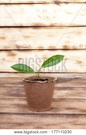 Young Seedling Of Lemon In A Turf Pot