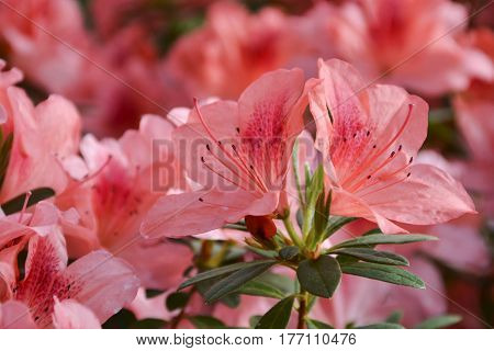 The bush of azalea blossomed with beautiful and delicate flowers