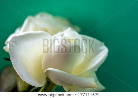 White rose close-up can use as background. Space for text