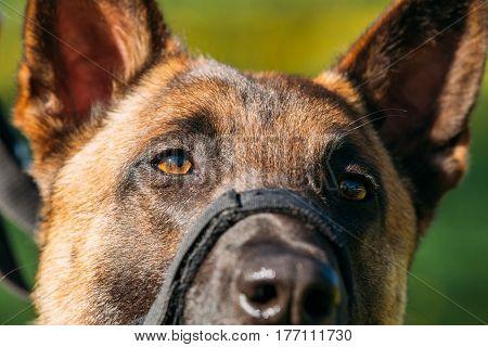 Close Up Portrait Of Malinois Dog With Muzzle. Belgian Shepherd Dog