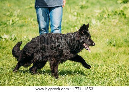 Beautiful Young Black German Shepherd Dog Walking On Green Grass. Alsatian Wolf Dog Or German Shepherd Dog Play Outdoor. Deutscher Dog.
