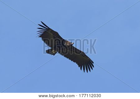 Black vulture in flight with blue skies in the background