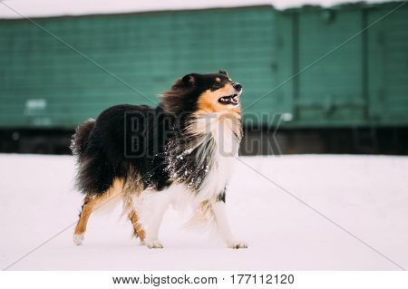 Funny Young Shetland Sheepdog, Sheltie, Collie Dog Playing With Ring And Fast Running Outdoor In Snow, Winter Season. Playful Pet Outdoors.
