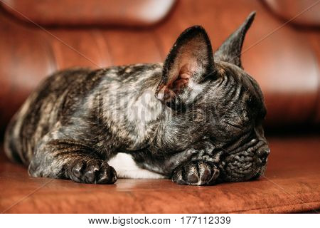 Young Black French Bulldog Dog Puppy With White Spot Sleeping On Red Sofa Indoor. Funny Dog Baby