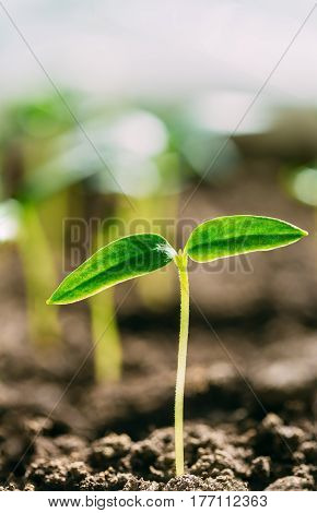 Green Sprout With Leaf, Leaves Growing From Soil On Sunlight. Spring, Concept Of New Life. Agricultural Season