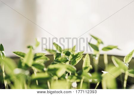 Group Young Sprouts With Green Leaf Or Leaves Growing From Soil. Spring Concept Of New Life. Start Of The Growing Season. Beginning Spring Agricultural. Garden Seedling