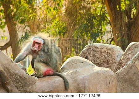 Baboon Monkey / Featuring Baboon Monkey Chilling in the Zoo