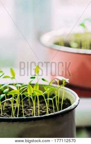 Group Young Sprouts With Green Leaf Or Leaves Growing From Soil In Old Pot. Spring Concept Of New Life. Start Of The Growing Season. Beginning Spring Agricultural. Garden Seedling