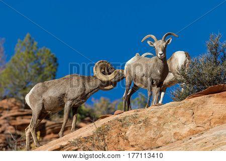 desert bighorn sheep rutting in fall in Utah