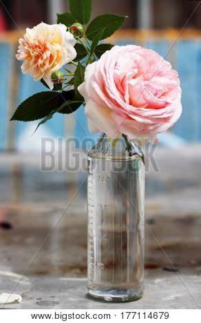 Delicate pink rose in a glass bottle vintage