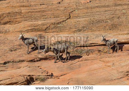 desert bighorn sheep during the fall rut