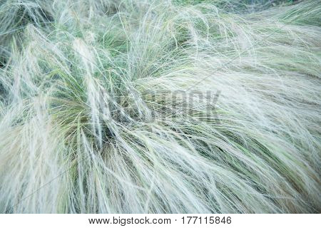 Feather grass, soft focus. Beautiful abstract nature background of kovyl.