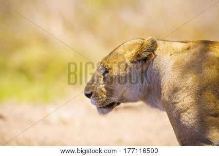 Large lion in Serengeti Tanzania, Africa. Standing at the savannah. Copyspace and space to text.